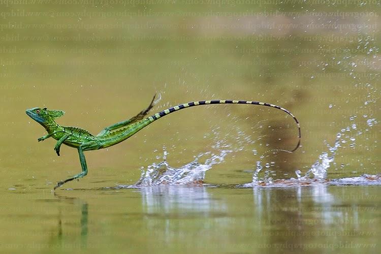 Ящерица, которая бежит по воде
