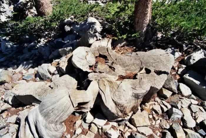«Прометей» – самое старое дерево на Земле