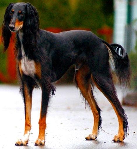 Saluki_dog – самая древняя порода собак в мире