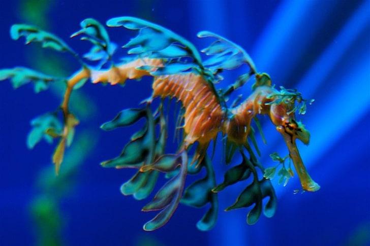 Морской конек-тряпичник