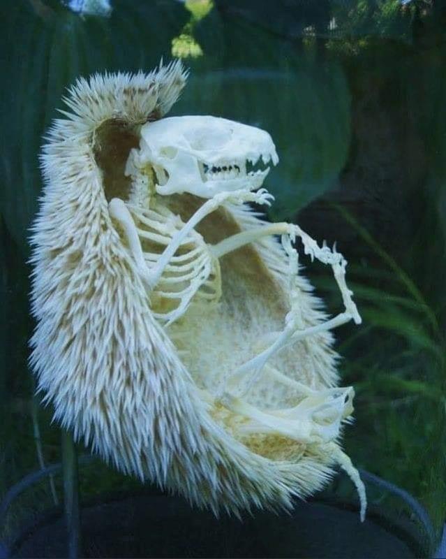 Скелет ежика