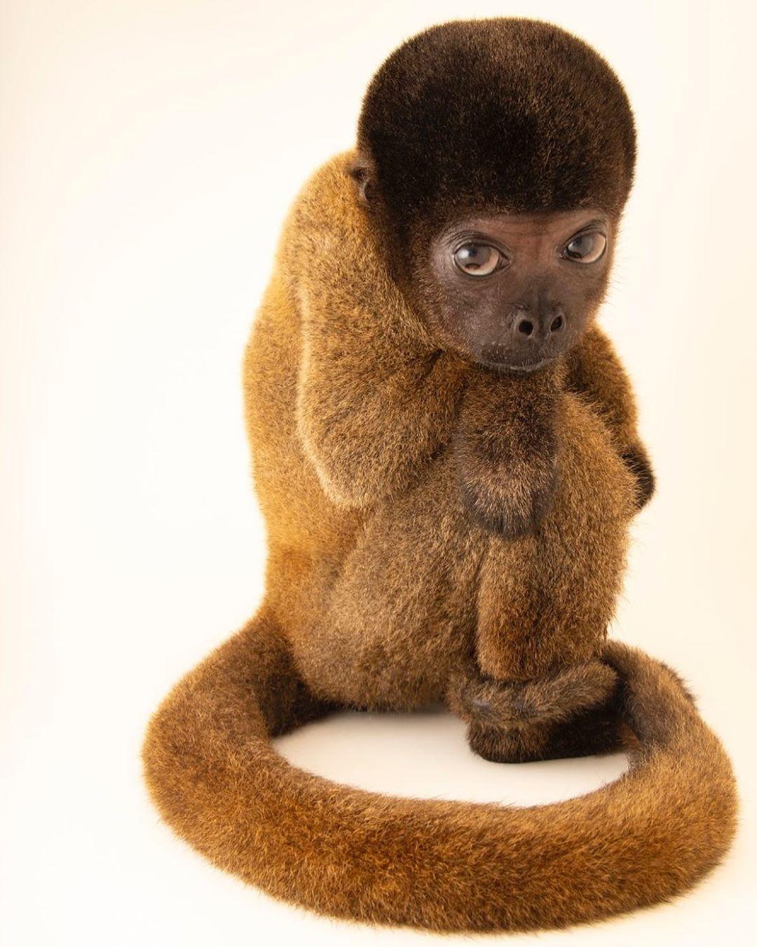 Желтохвостая обезьяна