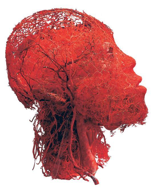 кровеносные сосуды в голове человека