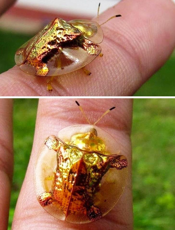 жук вида золотой черепахи