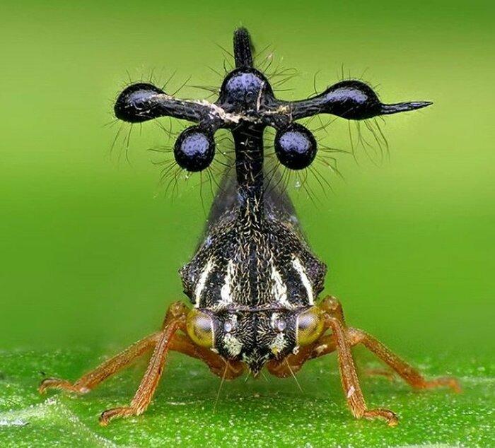 Бразильский кузнечик (Bocydium globulare)