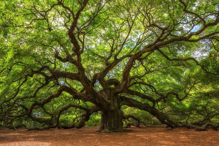 Дуб ангелов (Angel Oak Tree)