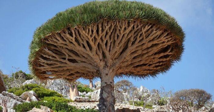 Кровавое Драконово дерево