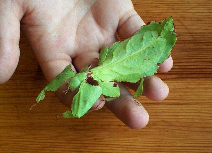 Листотел (Phylliidae)