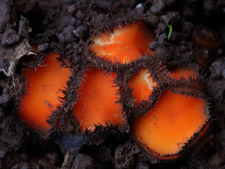 Scutellinia scutellata