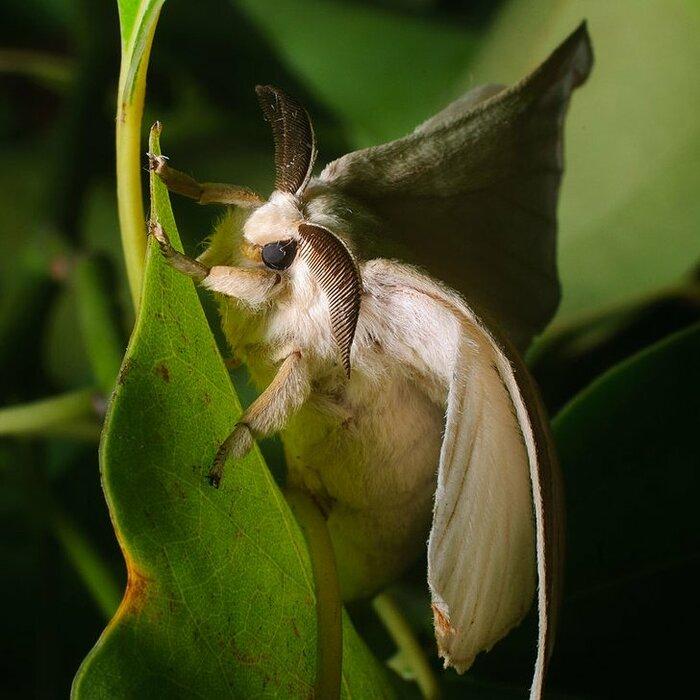 Венесуэльский мотылёк-пудель (Venezuelan Poodle Moth