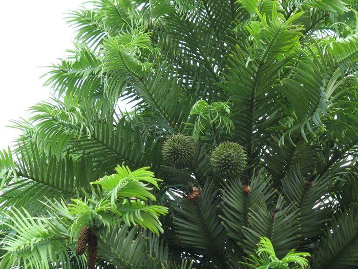 Воллемия (род хвойных деревьев)