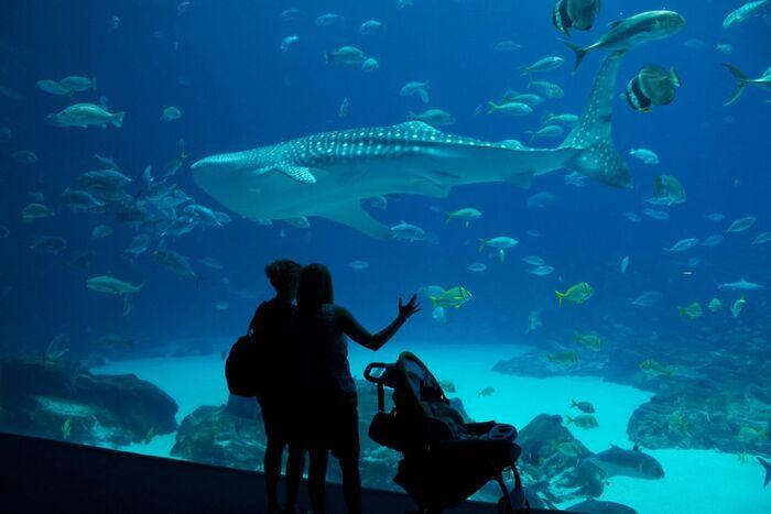 китовая акула в аквариуме Джорджии