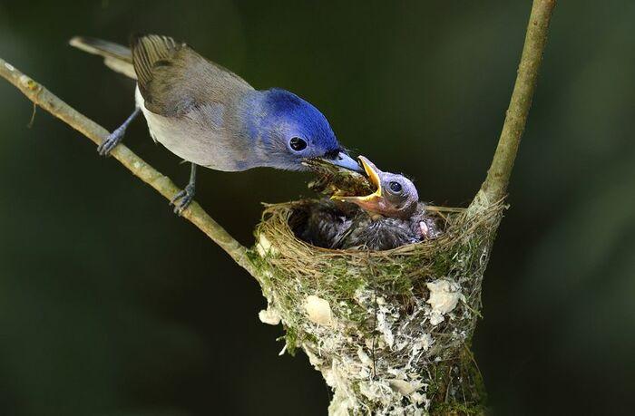семейство черноподобных синих мухоловок