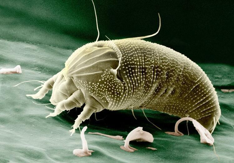 Aceria anthocoptes — вид клещей из семейства Eriophyidae