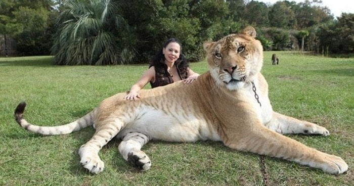 Геркулес — Лигр (гибрид льва и тигрицы)