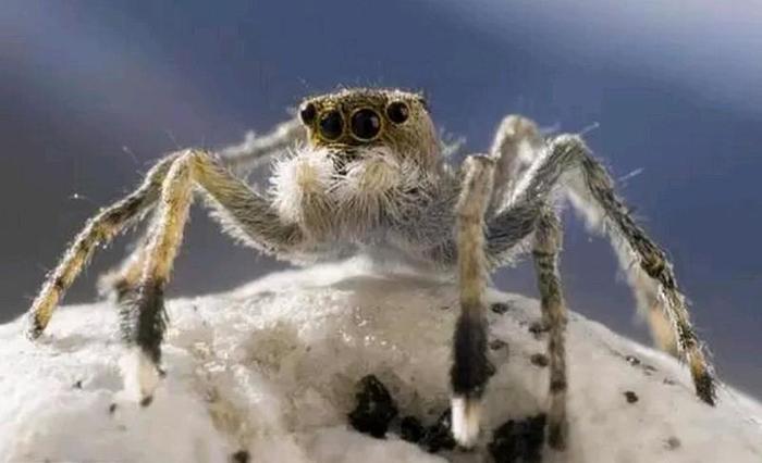 2. Гималайские пауки