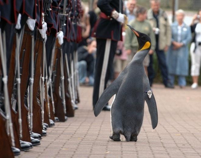 Сэр Нильс Улаф — королевский пингвин