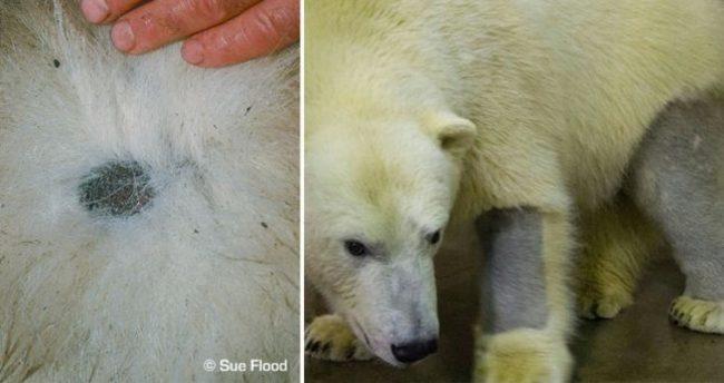 Мех белых медведей