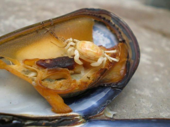 краб-горошина Pinnotheres pisum