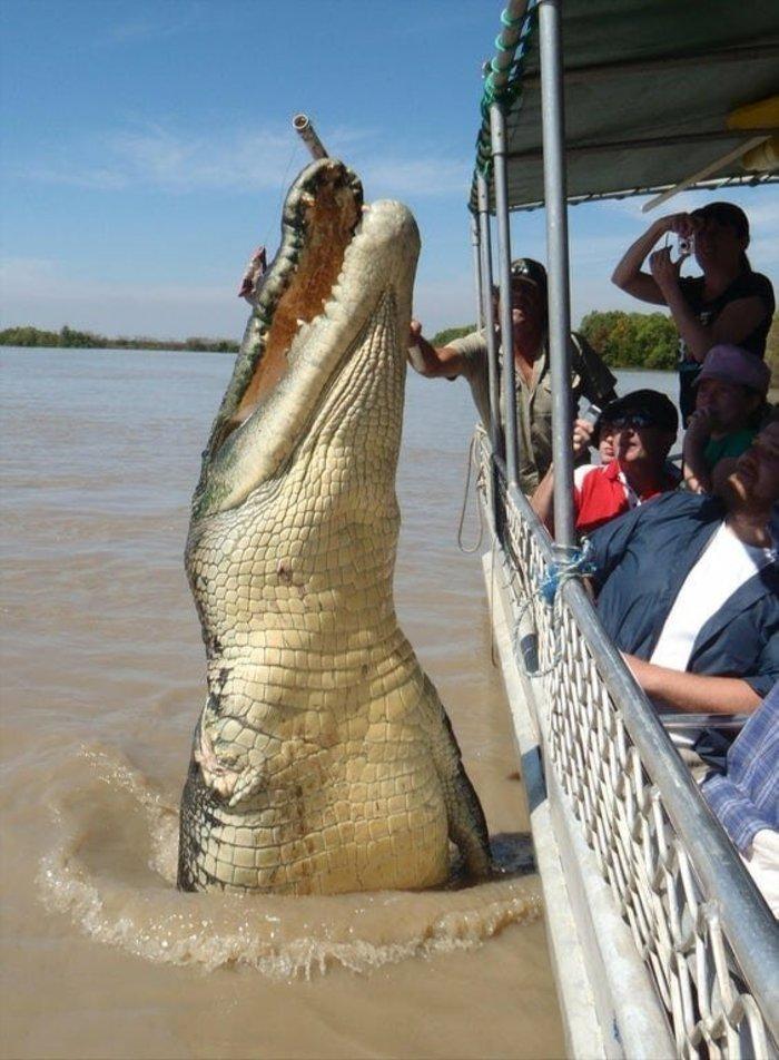 нильского крокодила