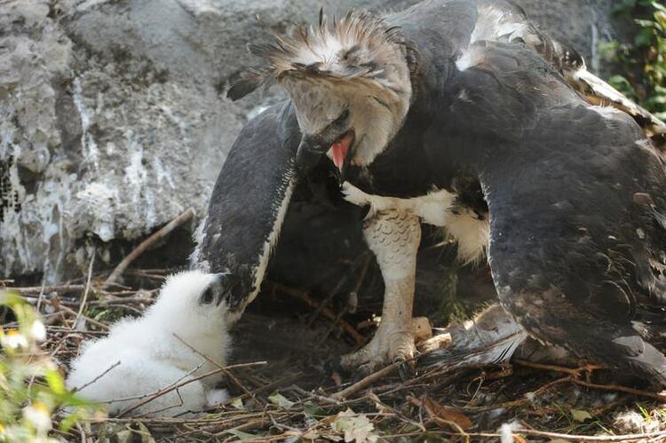Птенец Южноамериканской гарпии