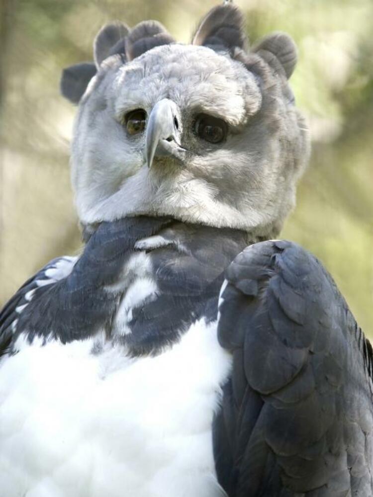 Южноамериканская гарпия (Harpia harpyja)