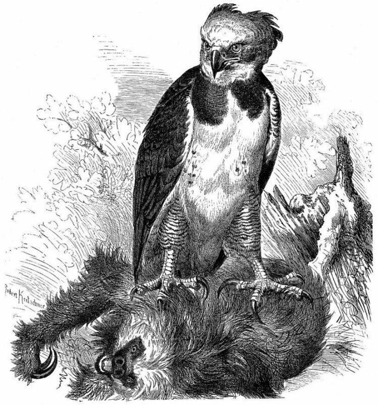 Южноамериканская гарпия—обезьяноеды