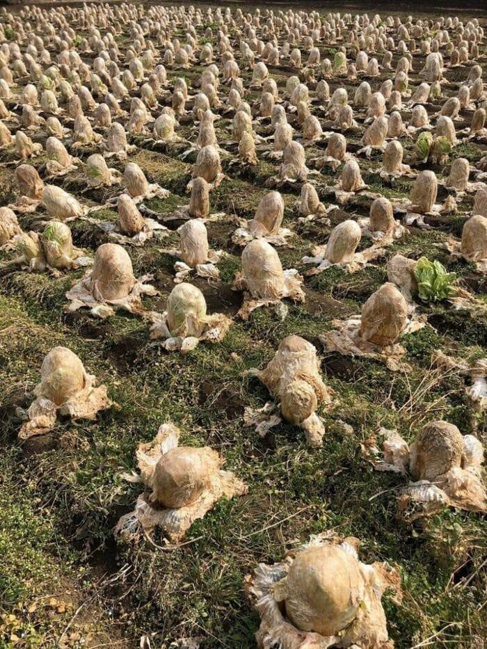 это поле китайской капусты