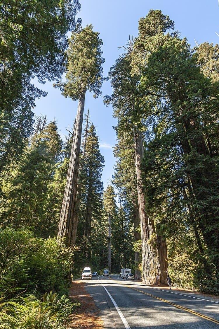 Гиперион — Самое высокое дерево на Земле