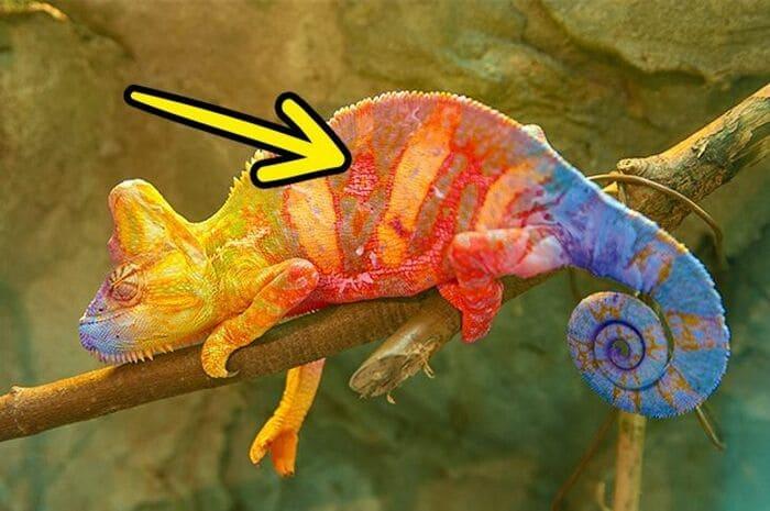 Хамелеоны меняют цвет