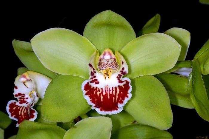 2. Орхидея Шэньчжэнь-Нонгке