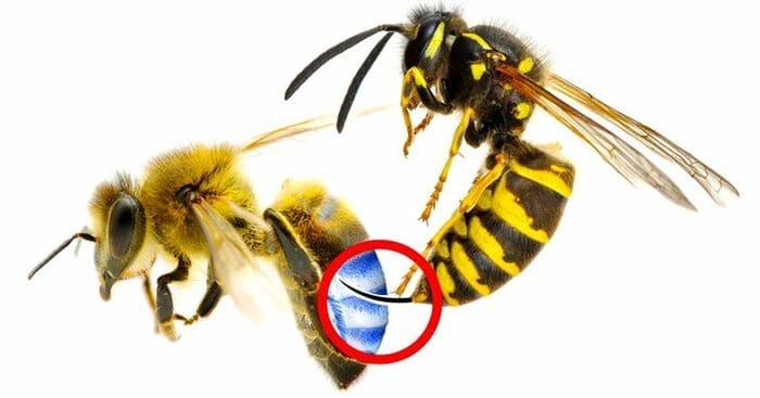 Пчелы могут жалить других пчел