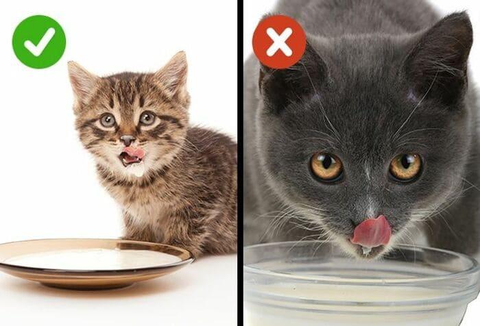 Взрослым кошкам не стоит давать молоко