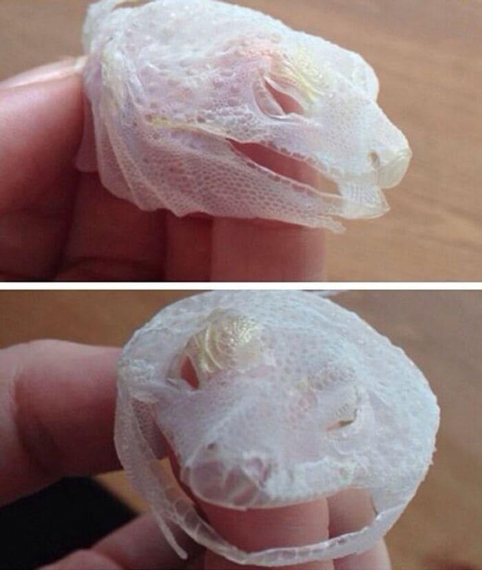 Ящерица сбросила целиком кожу