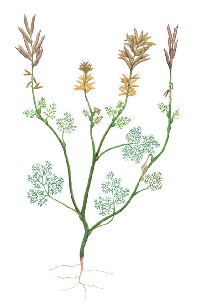 самый старый в мире цветок