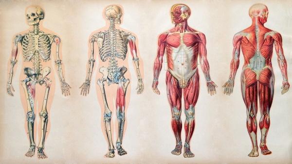 Человеческое тело