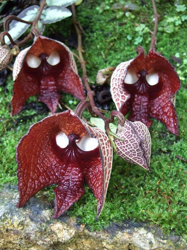 Дарт Вейдер (Aristolochia Salvadorensis)