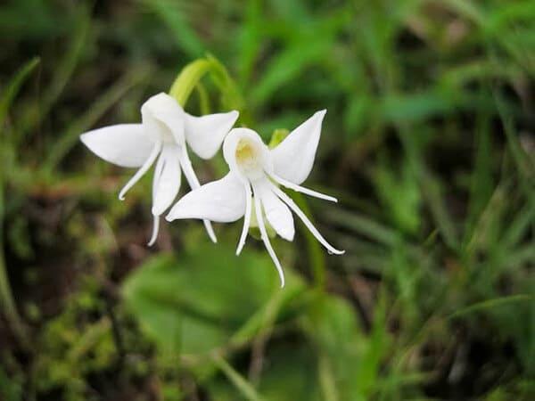 Ангельская орхидея (Habenaria Grandifloriformis)