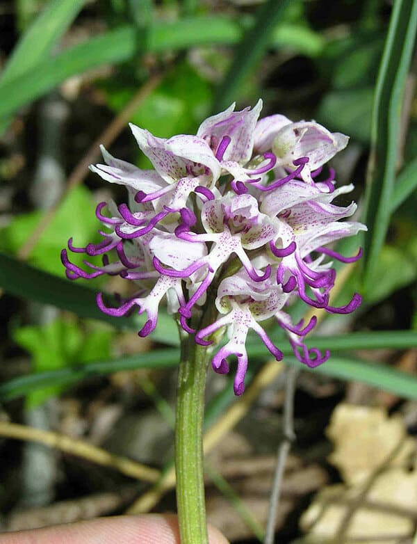 3. Орхидея «Голый мужчина» (Orchis Italica)