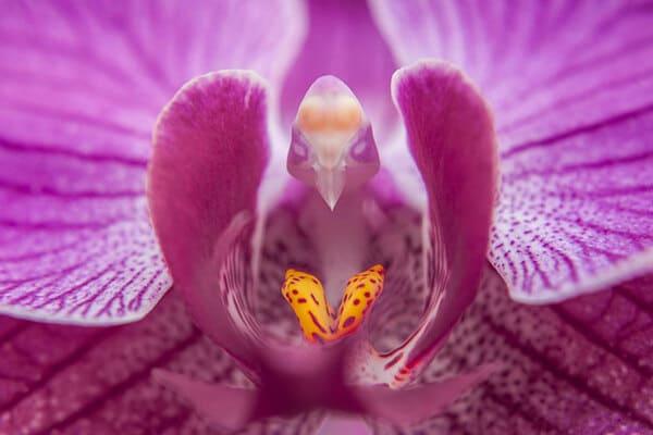 Орхидея-голубка