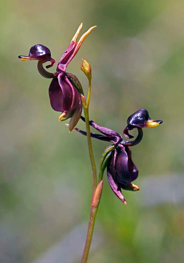Орхидея летящие утки (Caleana Major)