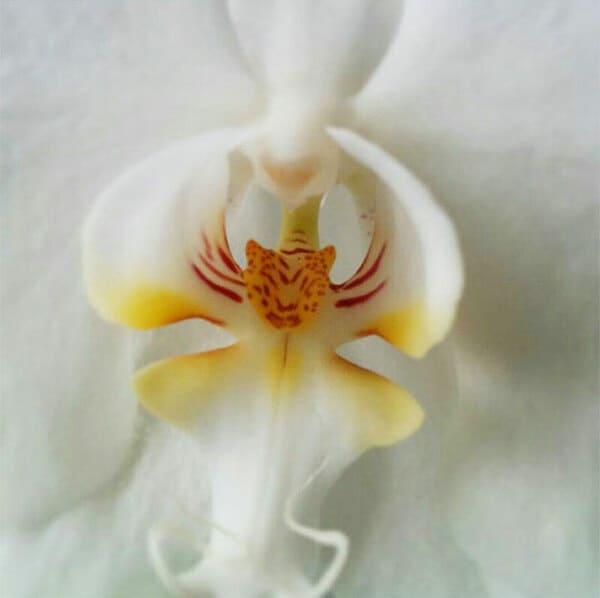 Орхидея, похожая на голову тигра