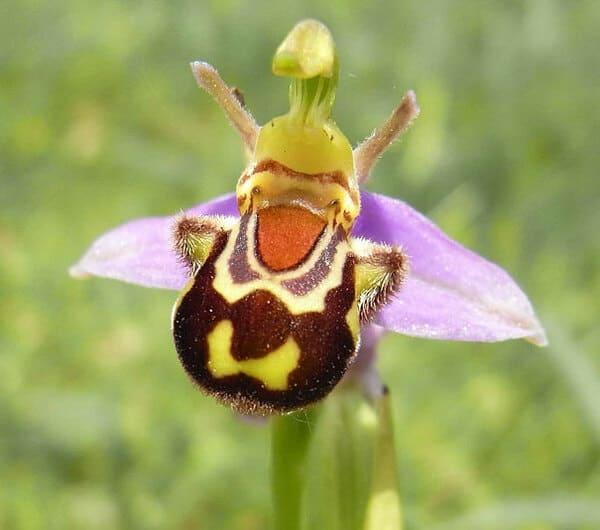 7. Орхидея смеющегося шмеля (Ophrys bomybliflora)