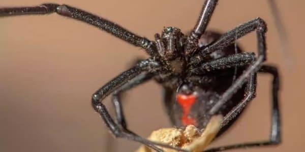 Паук Черная вдова (Latrodectus)
