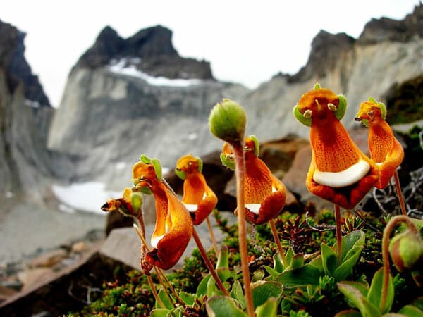 Счастливый пришелец (Calceolaria Uniflora)