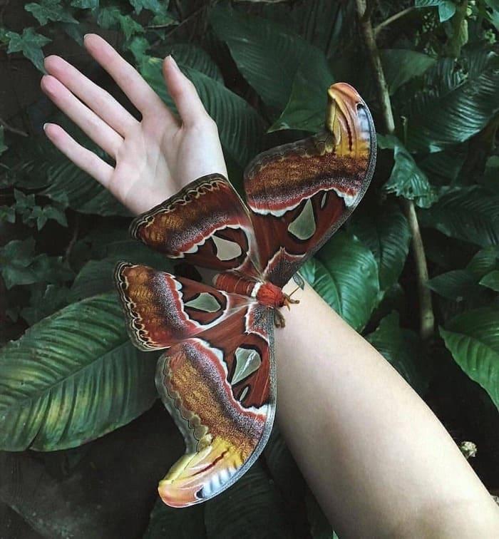 Павлиноглазка атлас — одна из самых больших бабочек в мире