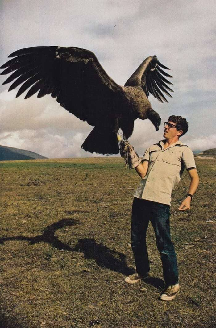 Размеры калифорнийского кондора