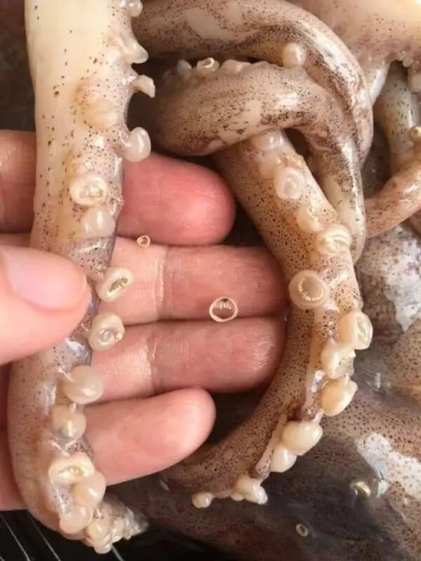 Присоски кальмара