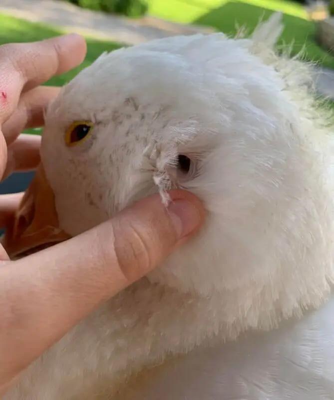 Так выглядит ухо гуся и других пернатых