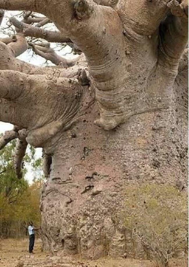 Баобаб - чудо-дерево